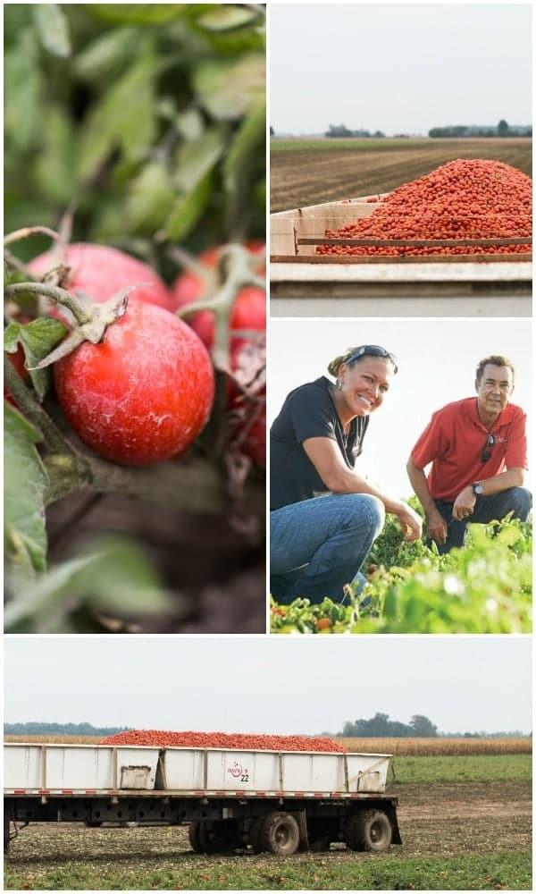 red gold tomato - farm pics